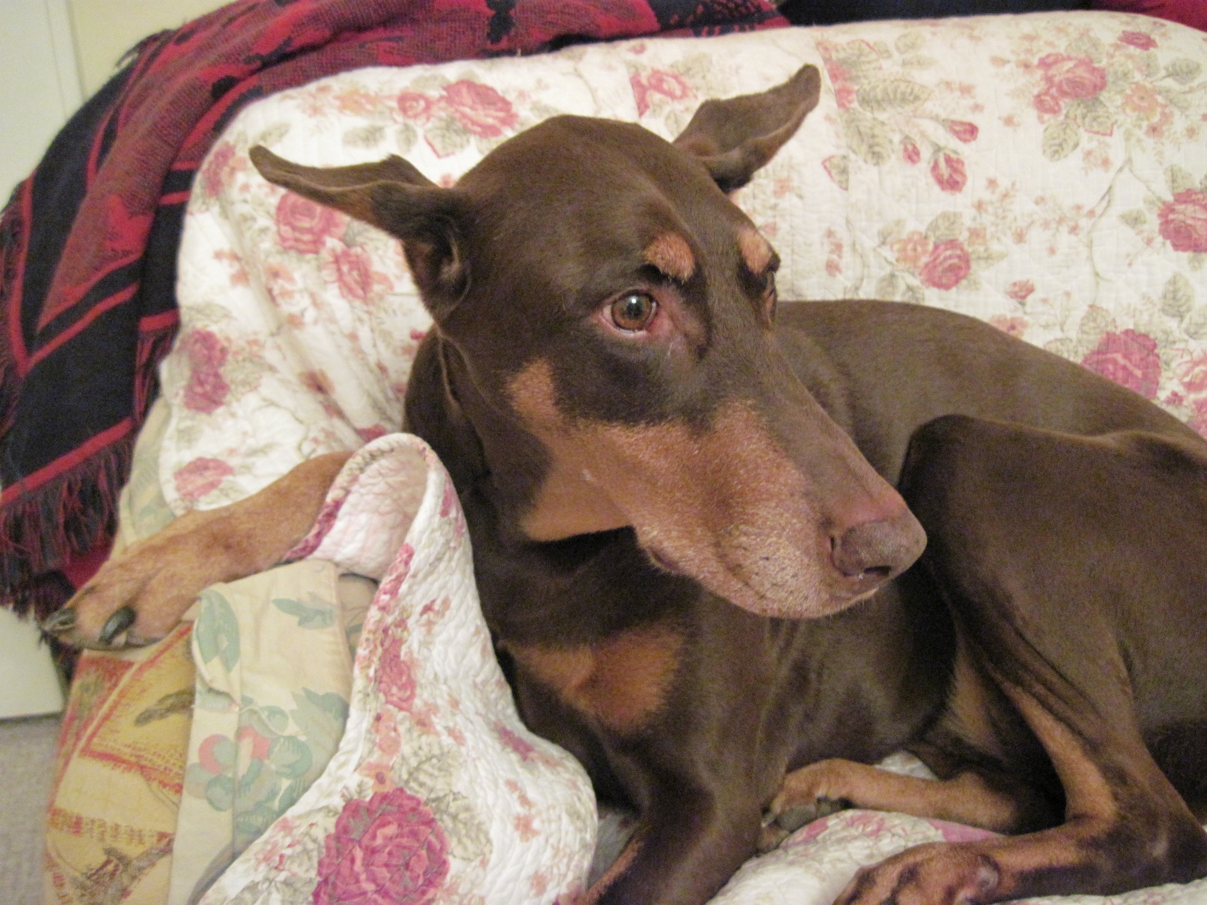 doberman, pinscher, pincher, agility, rally, obedience, conformation, dog, columbia, sc, gcoc
