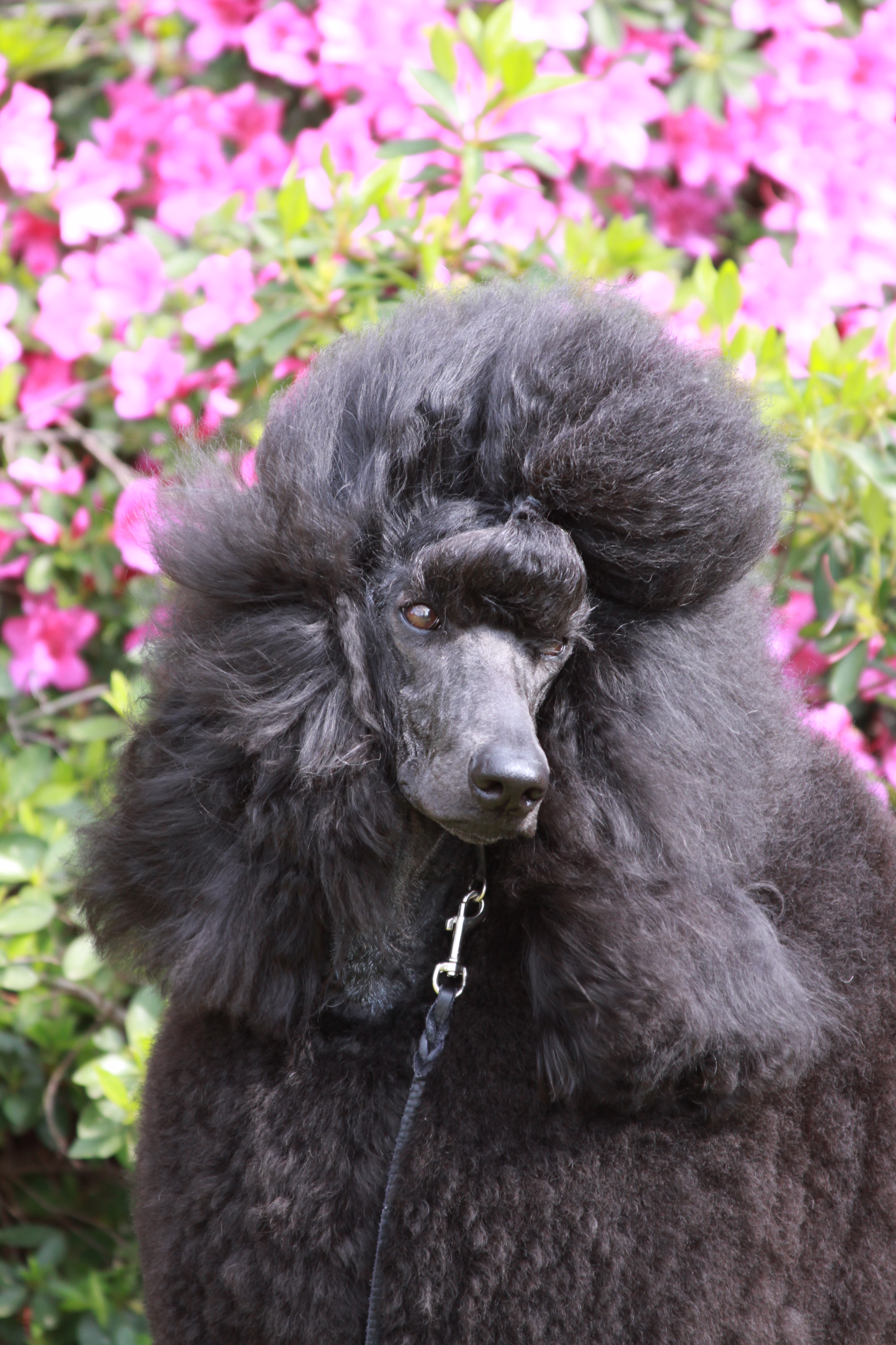 poodle, obedience, agility, rally, trial, club, dog, columbia, sc, gcoc