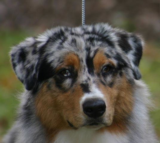 aussie, australian, shepherd, obedience, agility, rally, conformation, dog, columbia, sc, gcoc