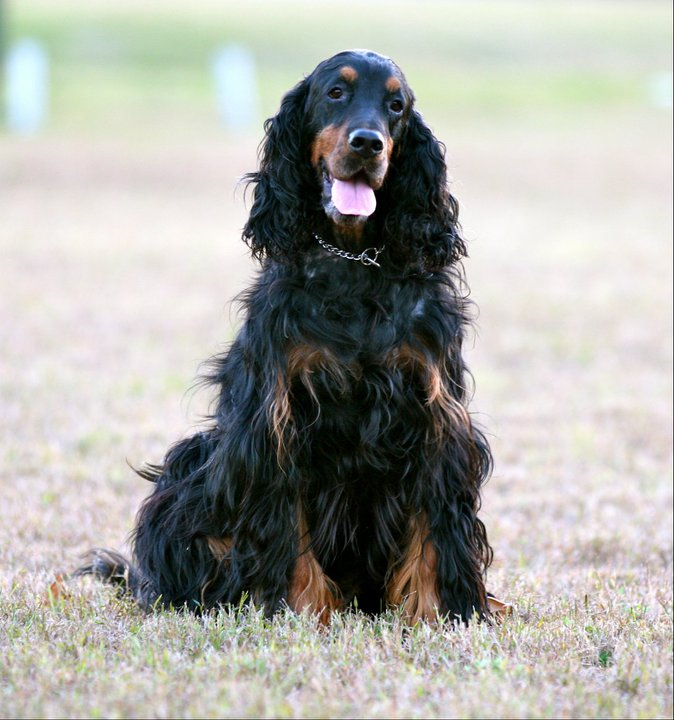 irish, setter, hunting, obedience, agility, rally, dog, gcoc, columbia, sc