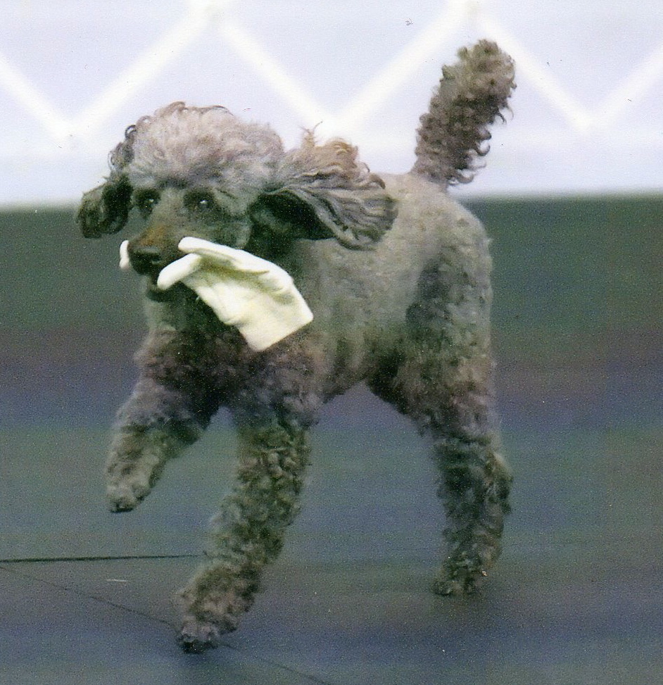 poodle, obedience, agility, rally, gcoc, trial, dog, training, columbia, sc