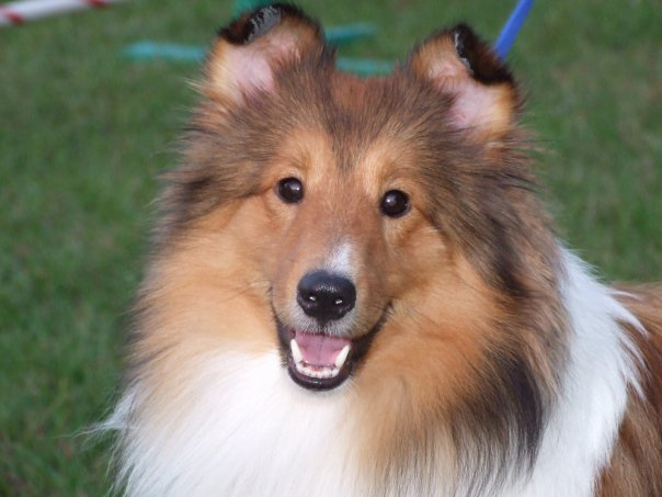 sheltie, shetland, sheep, dog, agility, rally, obedience, training, gcoc, columbia, sc